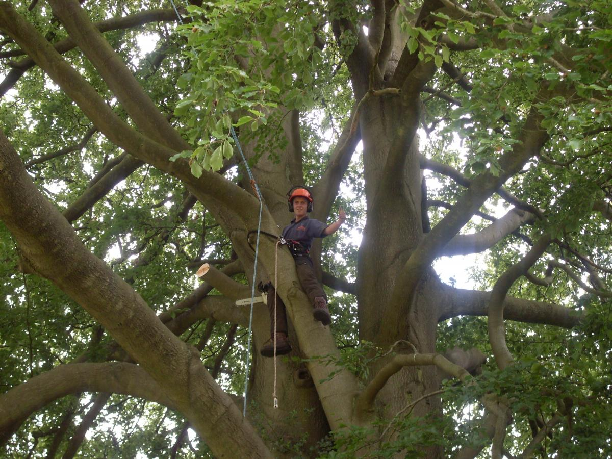large beech tree in barnt green had o have the dead wood removed