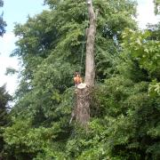 this sycamore was felled in the priory hospital in birmingham due to it being unsafe