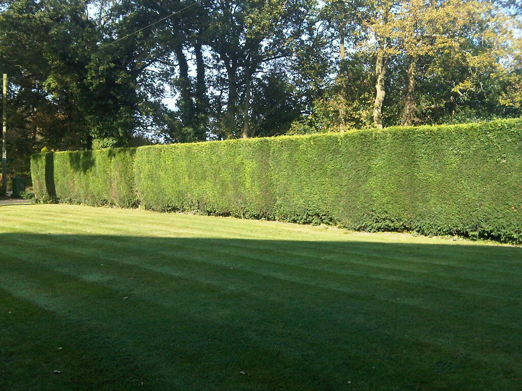 barrelled laylandi hedges in barnt green